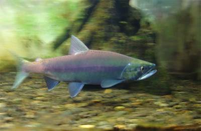 Puteshestvie raznovidnosti lososya ketyi Путешествие разновидности лосося   кеты