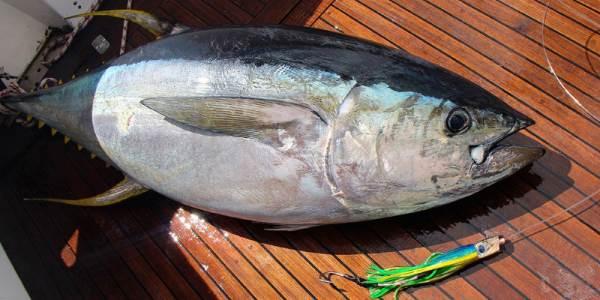 Pitatelnaya ryiba tunets Питательная рыба тунец